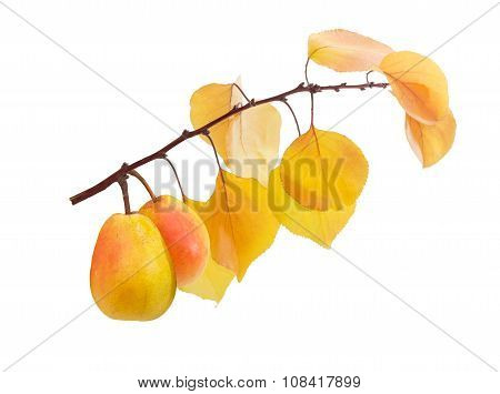 Two Duchess Pear On A Branch With Yellow Leaves