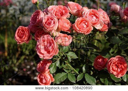 Bush of scarlet roses in a garden