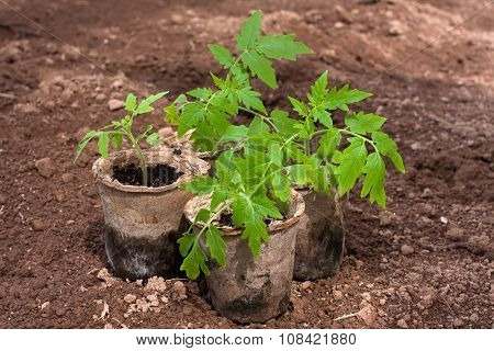Seedling Of Tomatoes In The Garden