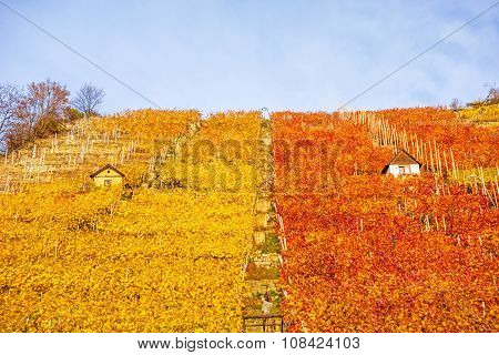 Vineyard In Autumn