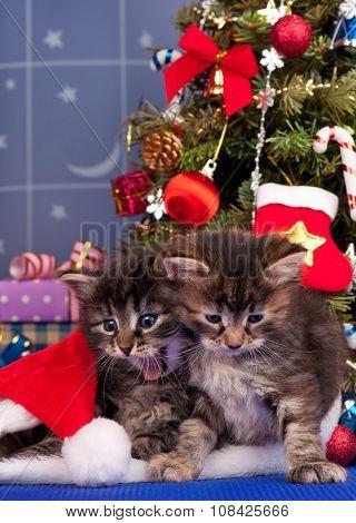 Cute Siberian Kittens