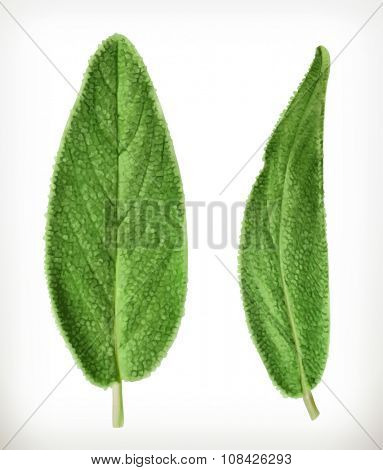 Salvia leaves, vector icon