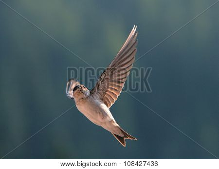 Bird, Swallow On Flying