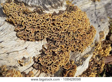 Many Zoned Polypore Fungus