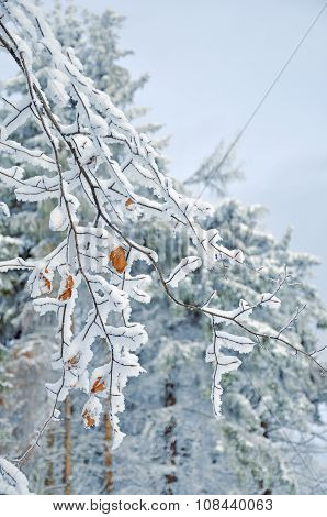 Frosty  snow-covered Leaves