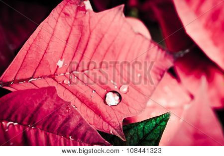 Abstract of rain drops on poinsettia flower
