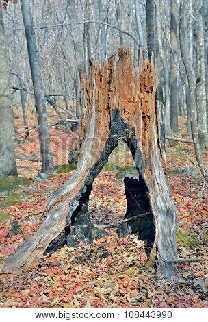 Very Old Stump