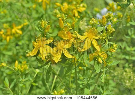 Medicinal Herb Hypericum