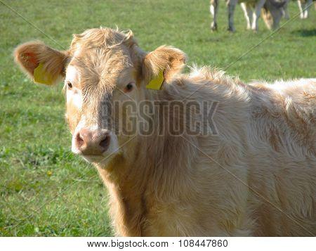 beige calf