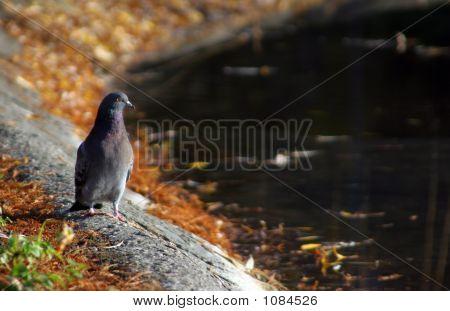 Pigeon On Pond Bank
