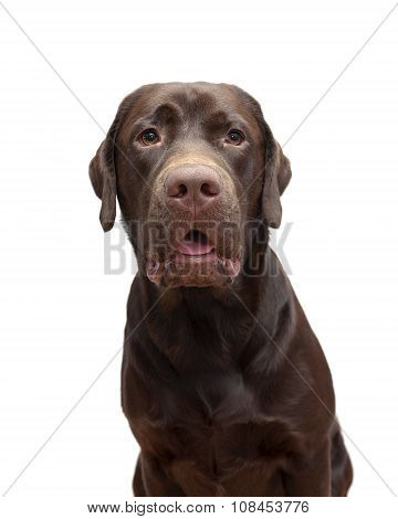 Portrait Labrador Chocolate Color On A White Background
