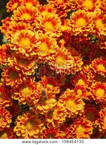 Red and orange chrysanthemums