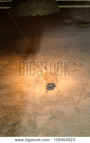 Marmot in the zoo lies on his stomach under the lamp