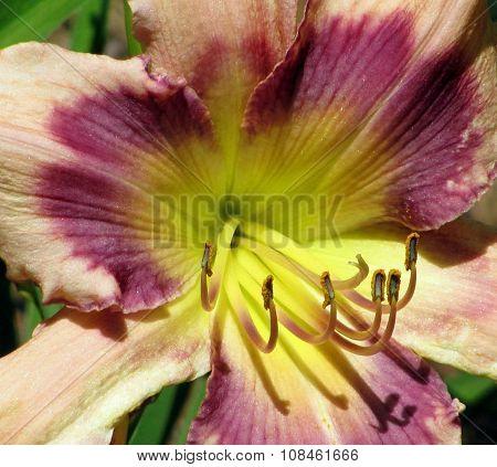 Daylily 1