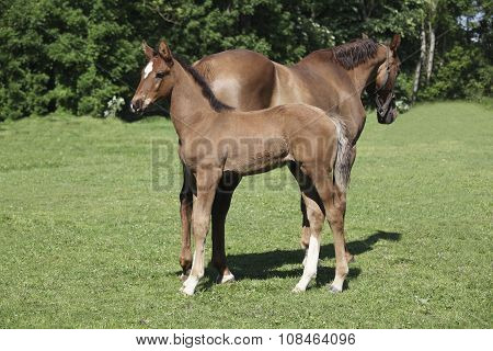 Foal Standing Behind Mare