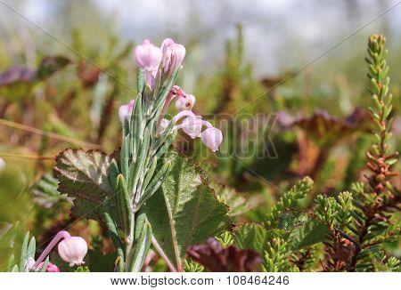 Cranberry Flowers