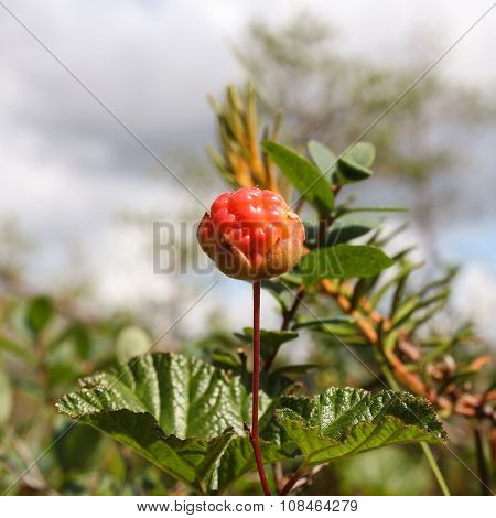 Red Cloudberries