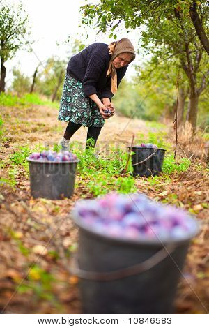 Old Woman Harvesting Plums