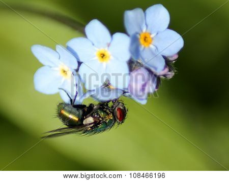 Green Bottle Fly on a Forget-me-not