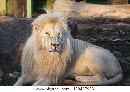 White lion resting on the grass