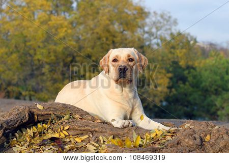 The Yellow Labrador In The Park In Autumn