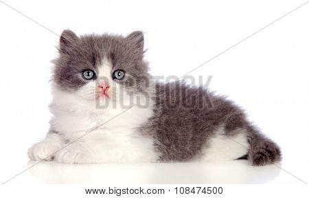 Beautiful gray Persian cat lying on the floor isolated on white background
