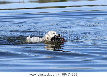 A Nice Hunting Labrador