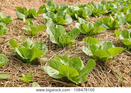 Growing Vegetable  In Rows In The Vegetable Garden ,vegetable Cultivation