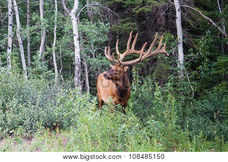 Male Elk At Jasper National Park