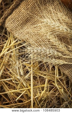 ears of corn on sackcloth in the haystack