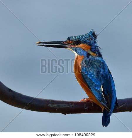 kingfisher in natural habitat (alcedo atthis)