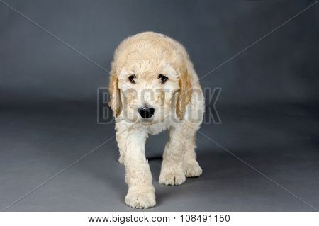 Sad Face Goldendoodle