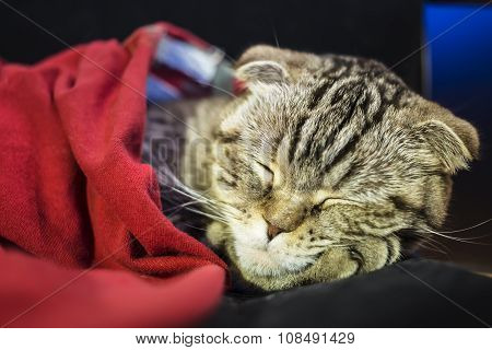 Scottish Fold Cat Sweetly Sleeps Under A Red Blanket, His Head Resting On The Foot