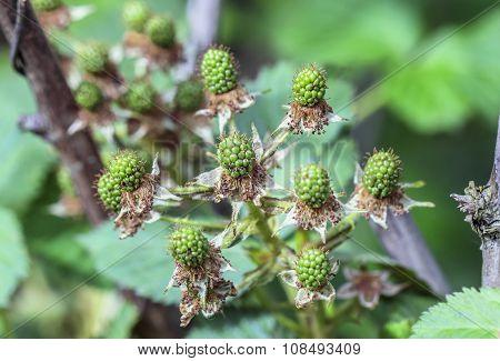 Unripe Green Berries Blackberry