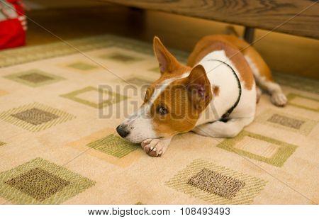 boring basenji dog lying at the floor