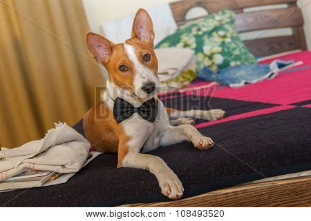 cute basenji dog lying at the bed