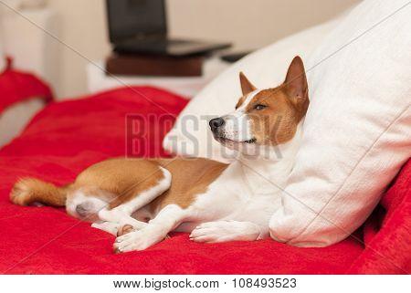 Cute basenji having rest on the luxurious cushion