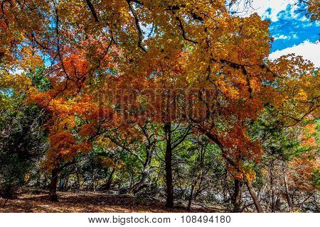 Bright Colorful Fall Foliage Lost Maples State Park, Texas