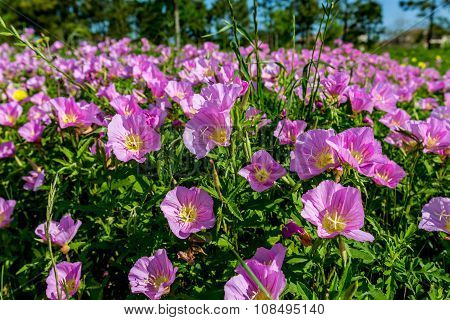 Texas Pink Primrose Wildflowers.