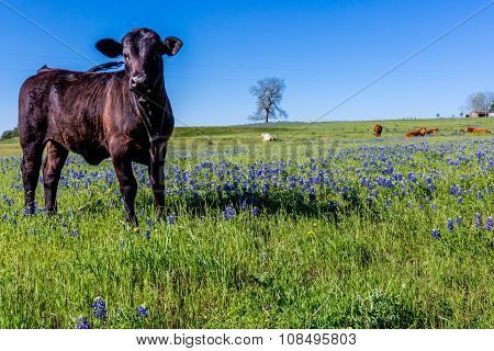 Black Cow In A Beautiful Field Blanketed With The Famous Texas Bluebonnet