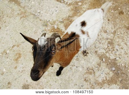 Nice spotty goat very attentively looks from below up