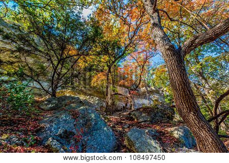 Bright Beautiful Fall Foliage On Stunning Maple Trees In Lost Maples State Park, Texas
