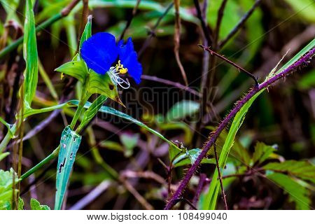 Blue Erect Dayflower