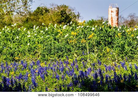 A Texas Field of White Poppies and Bluebonnets