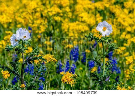 A Zoomed Closeup of a Variety of Texas Wildflowers in a Field