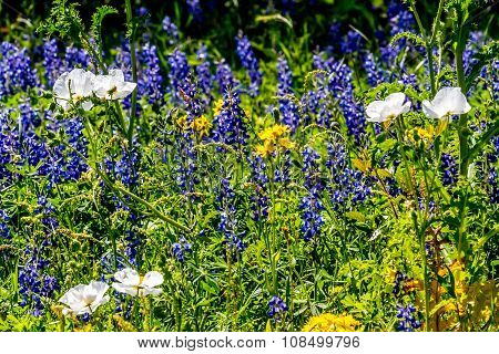 A Wide Variety of Texas Wildflowers