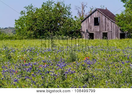 A Wide Angle View of an Old Barn in a Field with the Famous Texas Wildflowers