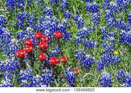 Closeup of the Famous Texas Bluebonnet (lupinus Texensis) with a Few Indian Paintbrush Thrown in.