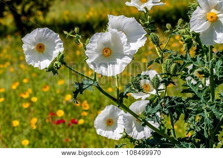 Closeup Of A Cluster of White Prickly Poppy Wildflower Blossom In Texas