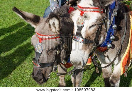 grey british seaside donkeys used for donkey rides